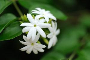 Jasmine-Meaning