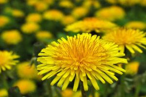 Dandelion-Meaning